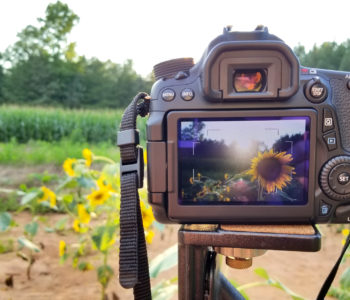 A Canon DSLR in a field of sunflowers