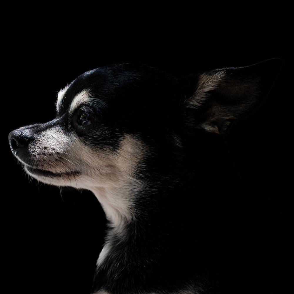 A profile of a chihuahua